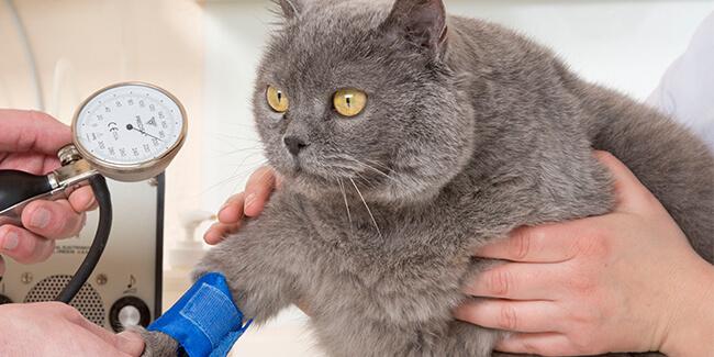 Niereninsuffizienz Untersuchung einer Katze