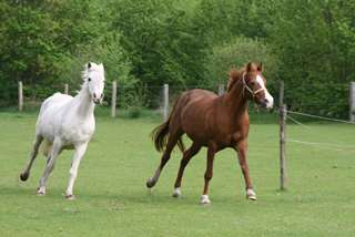 Zwei Pferde auf einer grünen Wiese.