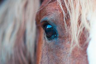 Pferd mit einer Bindehautentzündung.