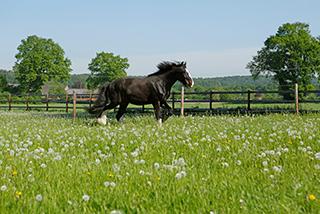 Pferd trabt über eine grüne Wiese.